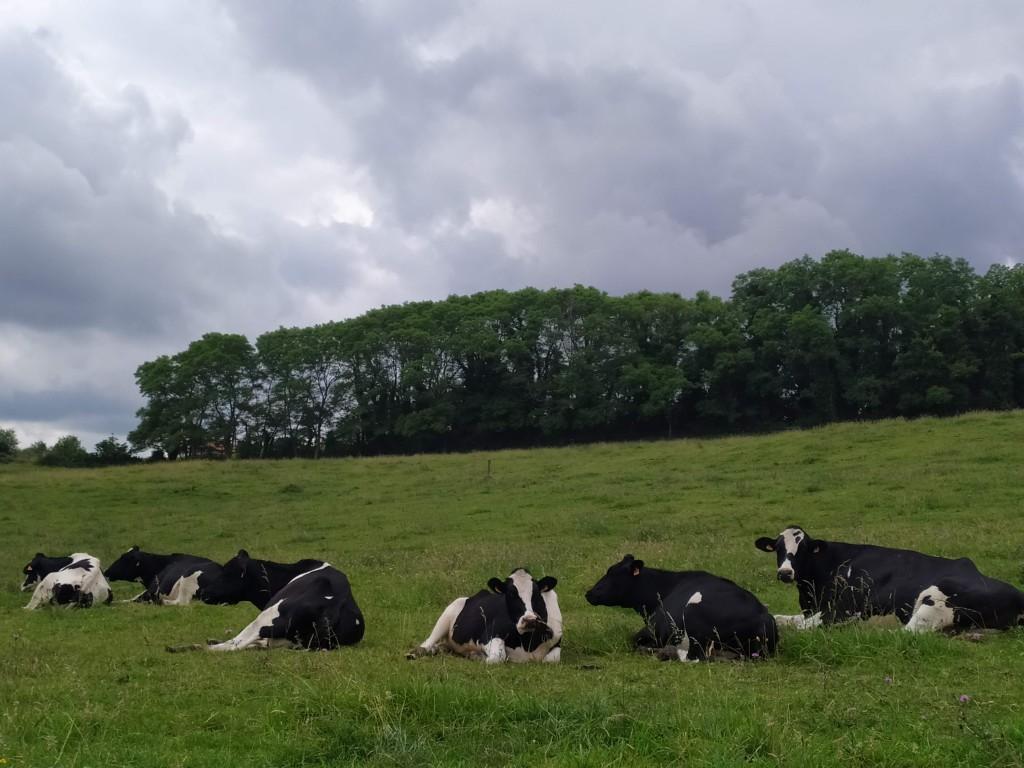 Vacas en prados de Hinojedo